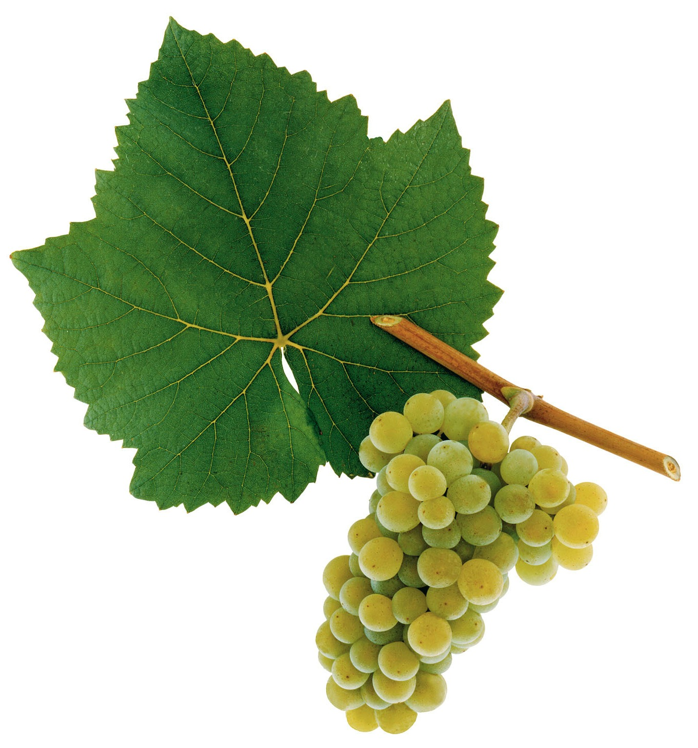 A picture shows grapes of the grape variety Weißburgunder