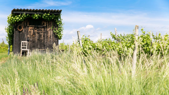 A picture shows a hut in a vineyard