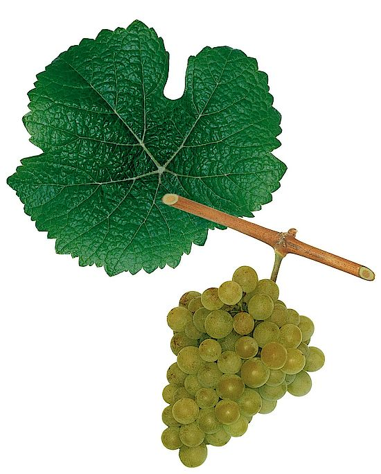 A picture shows grapes of the grape variety Traminer
