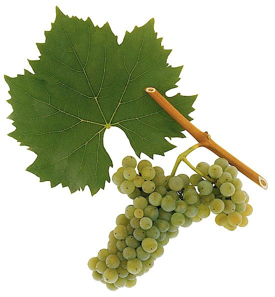 A picture shows grapes of the gape variety Welschriesling