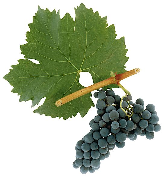 A picture shows grapes of the grape variety Portugieser