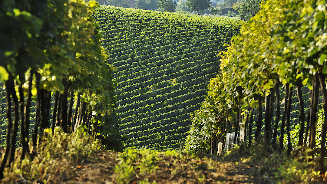 A picture shows a vineyard