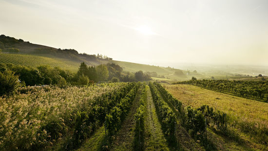 A picture shows vineyards in Thermenregion