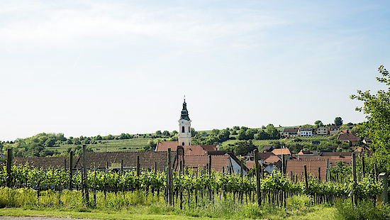 A picture shows a vineyard with a church in the back