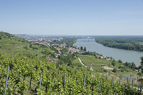 a picture shows a Vineyard at the Danube in Kremstal
