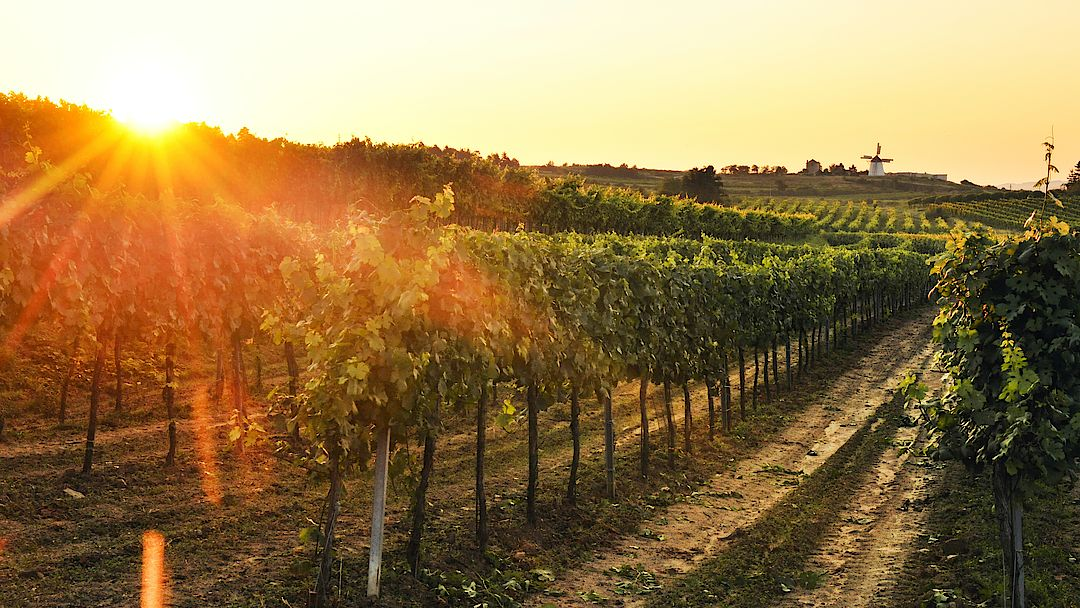 A picture shows a sunset in the vineyard