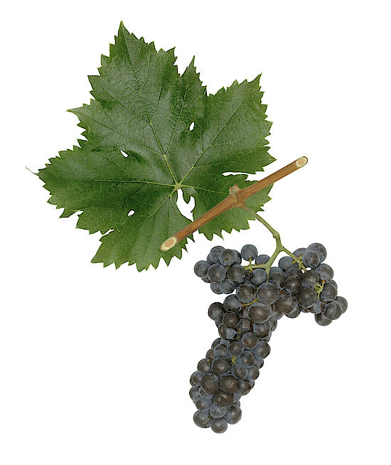 A picture shows grapes of the grape variety Rosenmuskateller