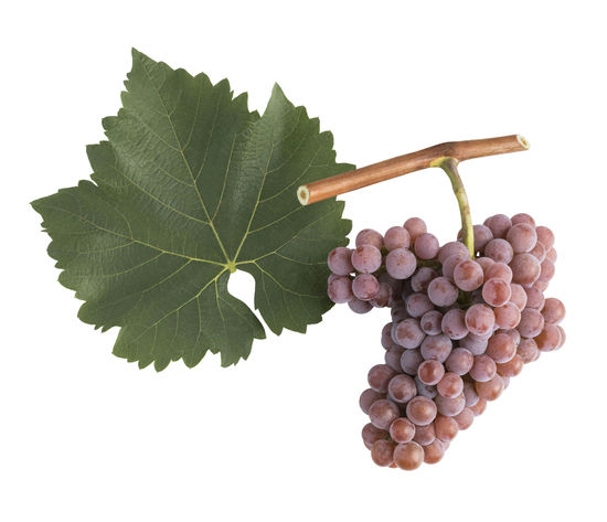 A picture shows the leaf and grape cluster of the Souvignier gris, © AWMB/Blickwerk Fotografie