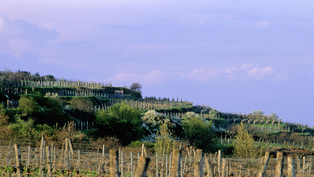 The picture shows vineyards in Traisental