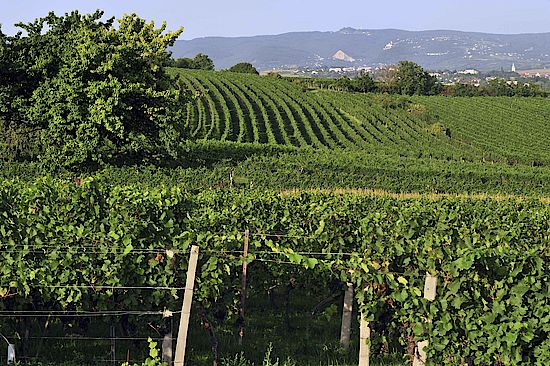 A picture shows a vineyard in the DAC-winegrowing region Rosalia, © seymann film.at