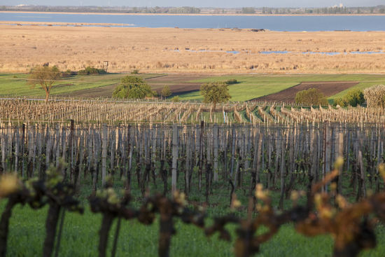 The picture shows vineyards in the Neusiedlersee region