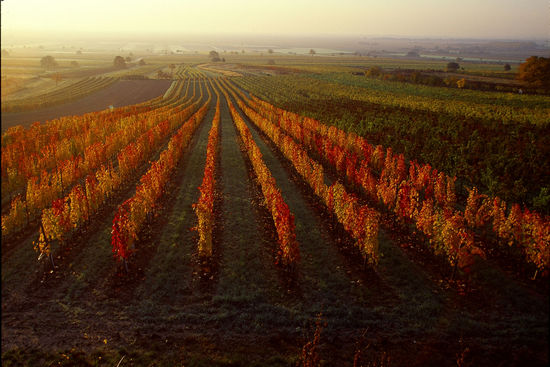 A picture shows a vineyard in autumn from above in Burgenland, © AWMB/Lukan.