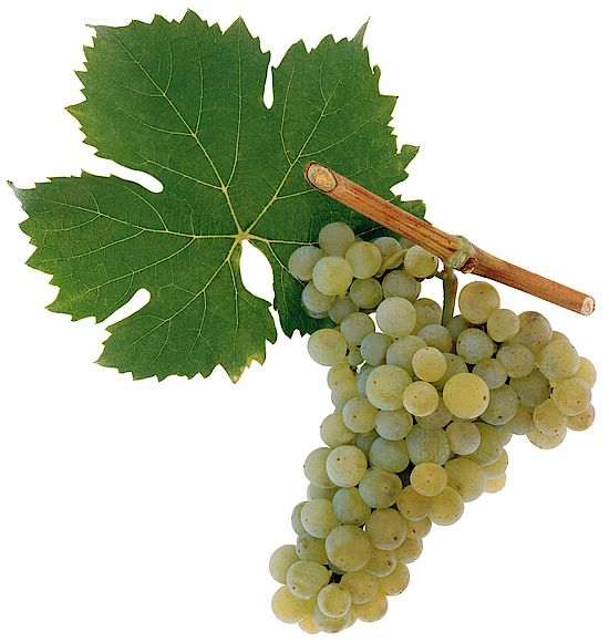 A picture shows grapes of the grape variety Rebsorte Bovier