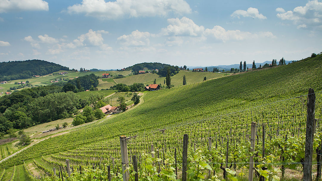 A picture shows a vineyard in Ratsch