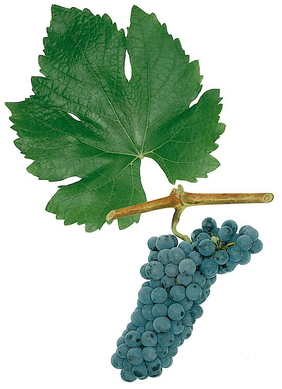 A picture shows grapes of the grape variety Rathay