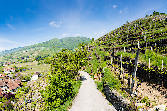 A picture shows Vineyards in Wachau