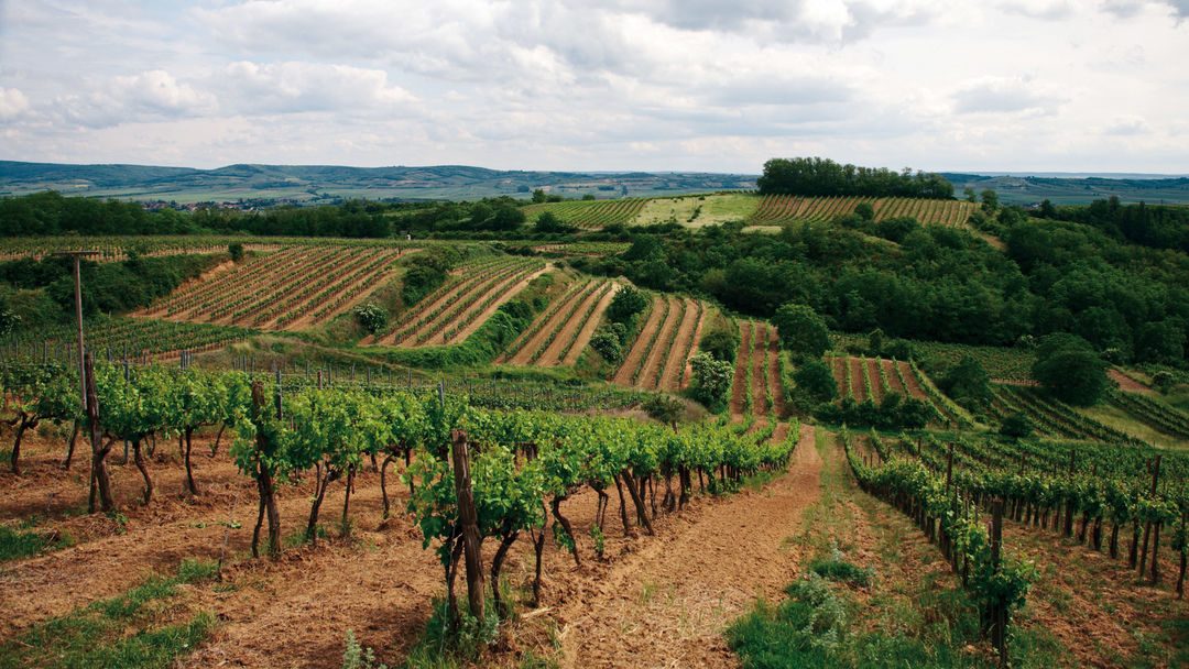 A picture shows vineyards in Austria