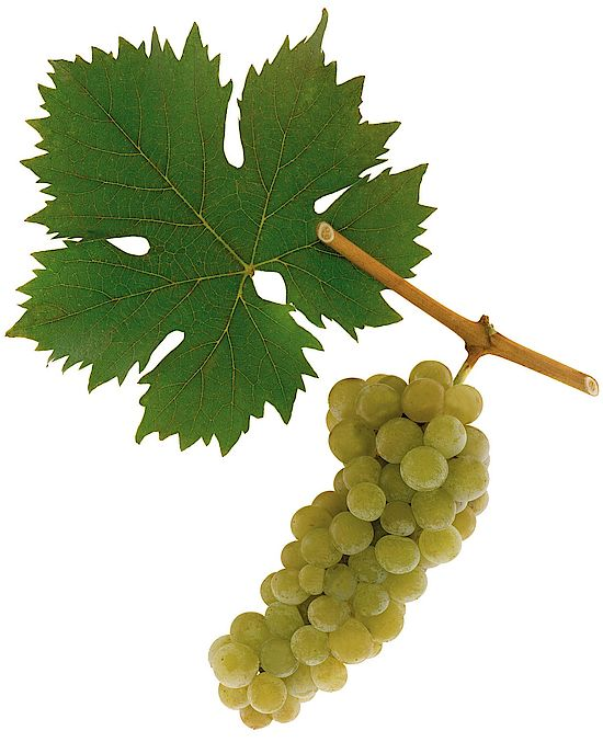 A picture shows grapes of the grape variety Gelber Muskateller