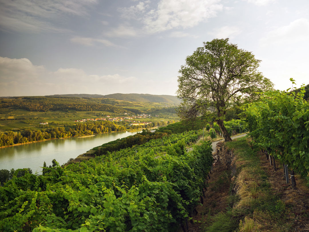 A picture shows a vineyard in Kremstal, © AWMB/Marcus Wiesner.