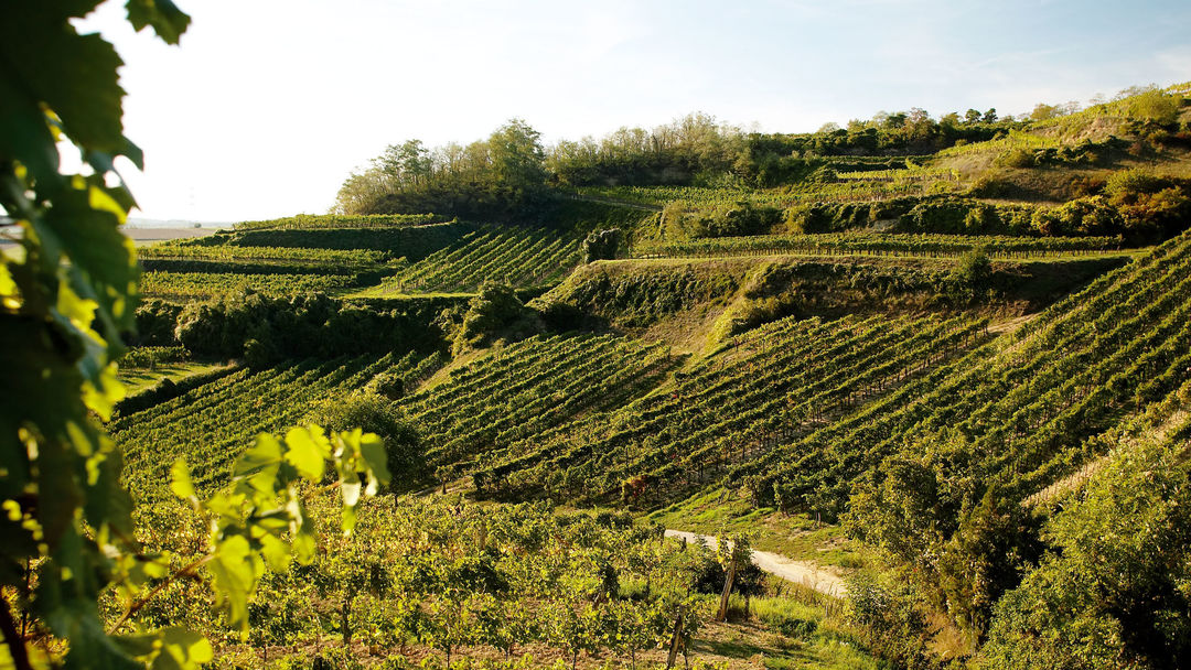 A picture shows vineyards in Lower Austria