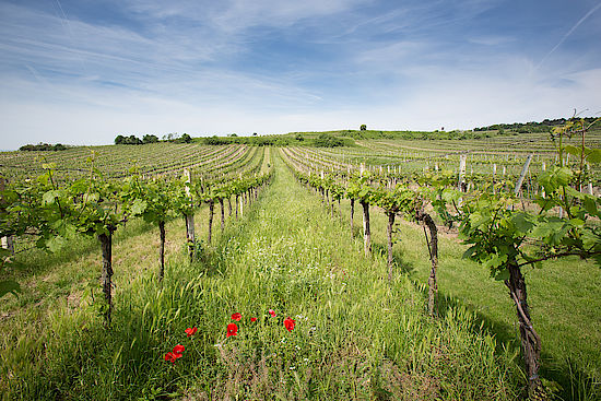 A picture shows a Vineyard at Wagram