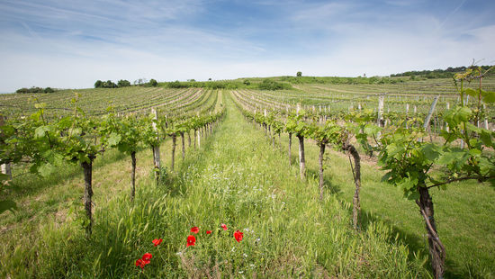A picture shows a sustainably farmed vineyard