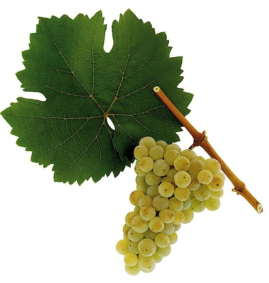 A picture shows grapes of the grape variety Riesling