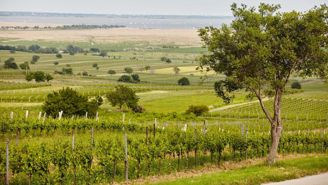 The picture shows vineyards next to Lake Neusiedl