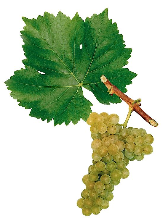 A picture shows grapes of the grape variety Muskat Ottonel