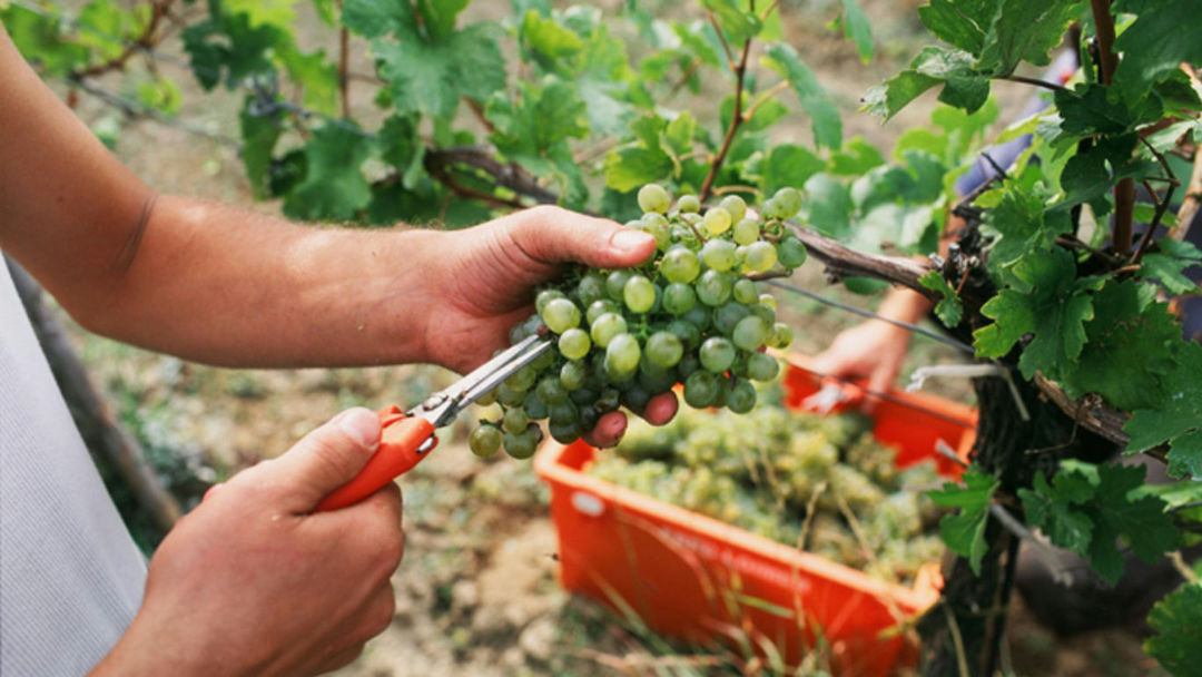 A picture shows the grape harvest